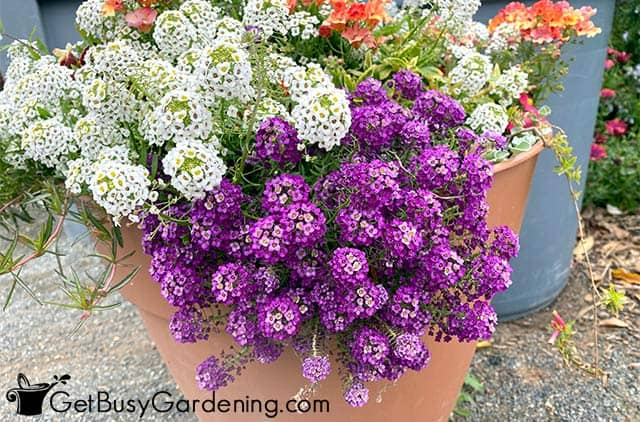 White and purple trailing alyssum potted annuals