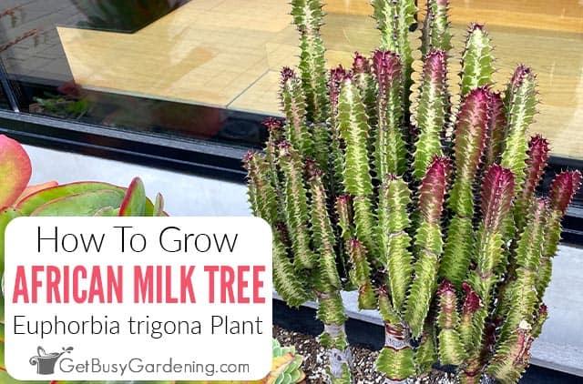 African Milk Tree: How To Grow & Care For A Euphorbia trigona Plant