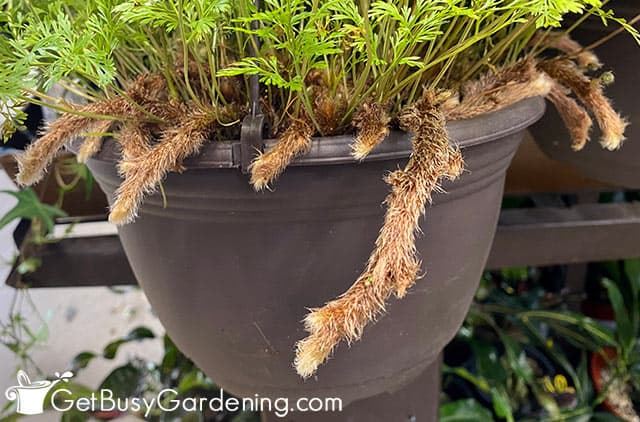 Fuzzy rabbits foot roots hanging out around the pot