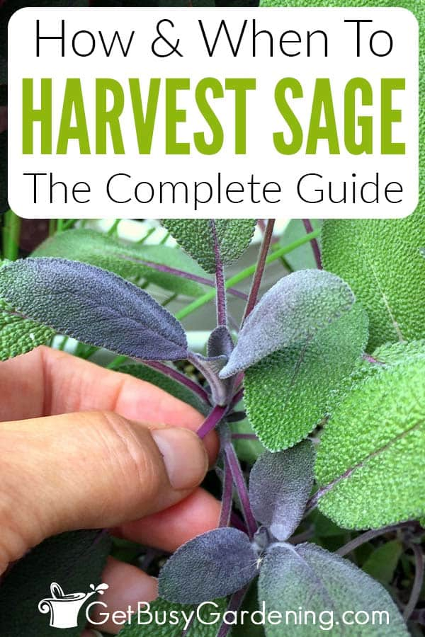 How & When To Harvest Sage The Complete Guide
