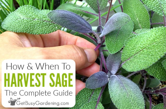 How & When To Harvest Sage