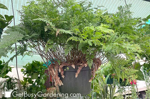 Mature davallia fejeensis growing in a hanging basket