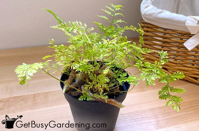 My davallia fejeensis plant indoors for winter