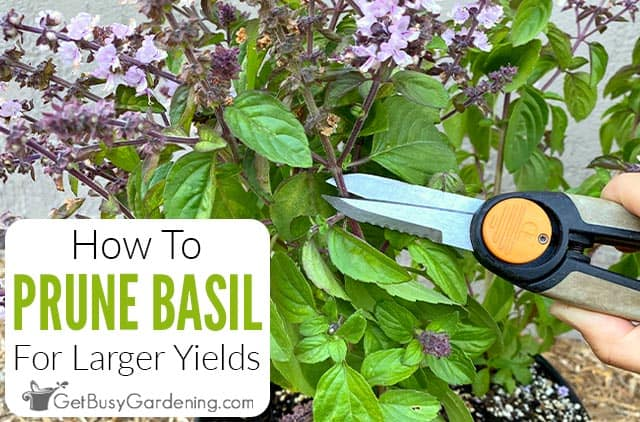 How To Prune Basil The Right Way