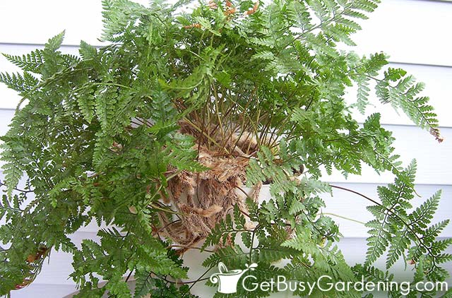 Rabbits foot fern outdoors in my porch for the summer
