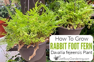 """Rabbit's Foot Fern: How To Grow & Care For """"Davallia fejeensis"""""""