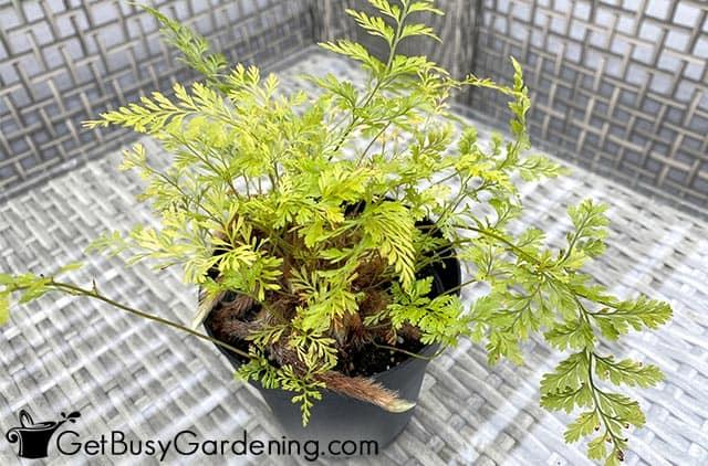 Small starter rabbits foot fern plant