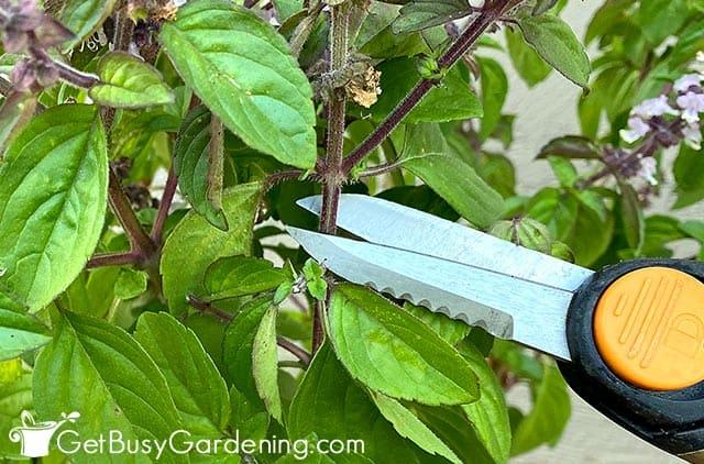 Trimming back a basil stem
