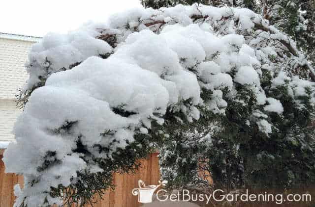 Arborvitae branches bending from heavy snow