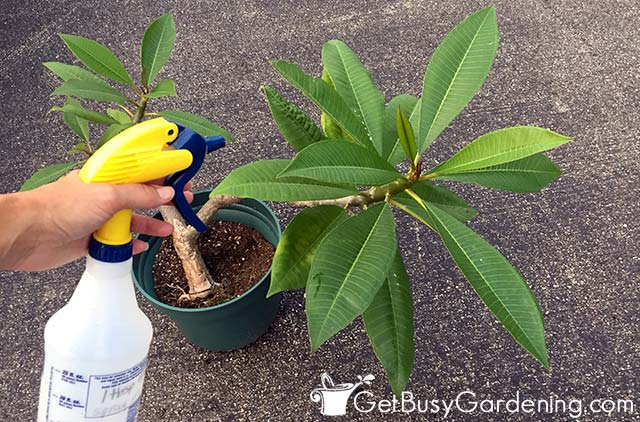 Debugging my plumeria before bringing it into the house