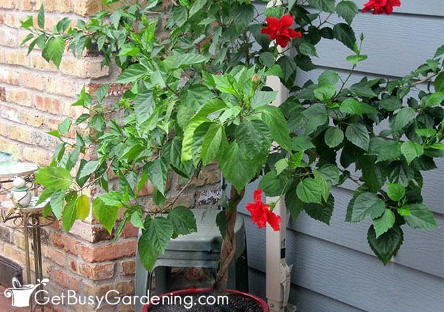 Getting my hibiscus ready to overwinter indoors