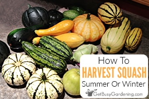 When & How To Harvest Squash - Picking Winter Or Summer Squash