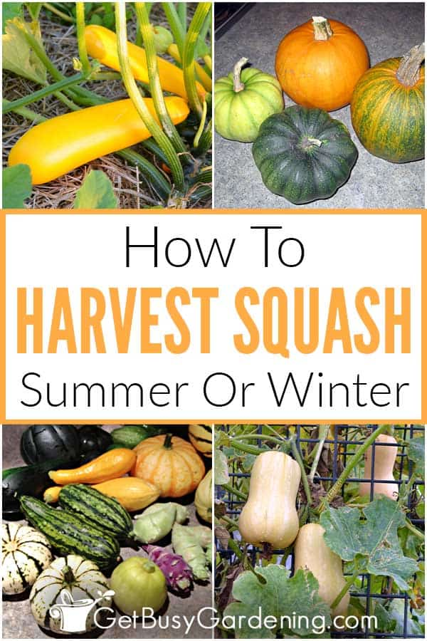 How To Harvest Squash: Summer Or Winter