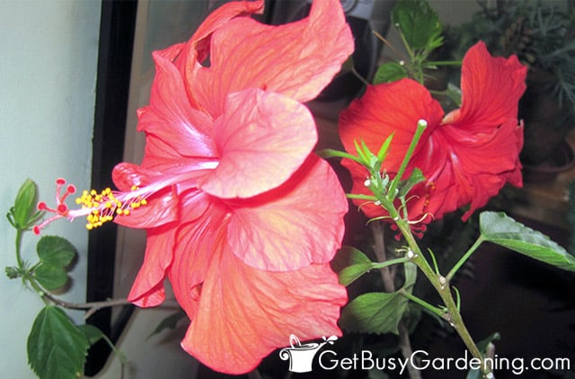 Hibiscus blooming while wintering indoors
