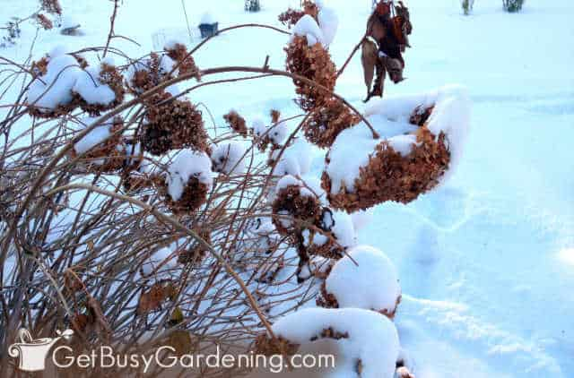 Hydrangea being weighed down after a snowstorm