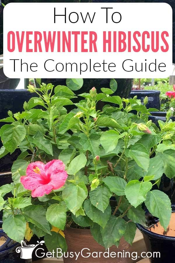How To Overwinter Hibiscus The Complete Guide