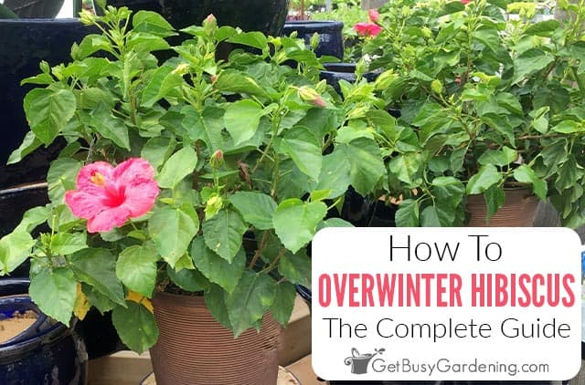 How To Overwinter Tropical Hibiscus Plants Indoors