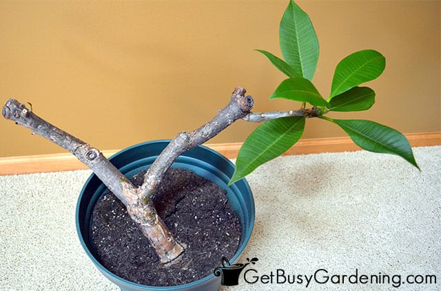 Overwintering my frangipani plant indoors