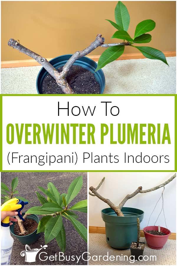 How To Overwinter Plumeria (Frangipani) Plants Indoors
