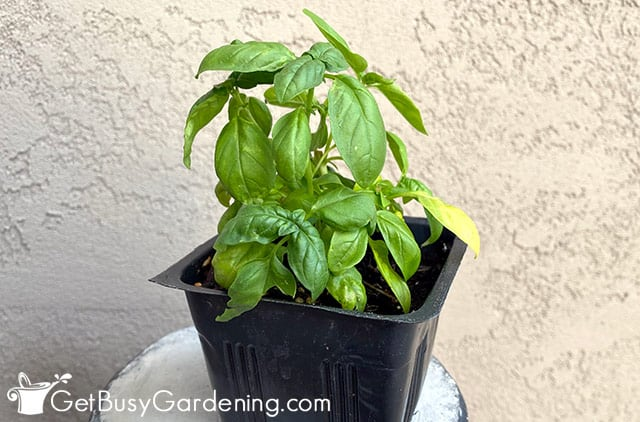 Propagated baby basil plant potted up