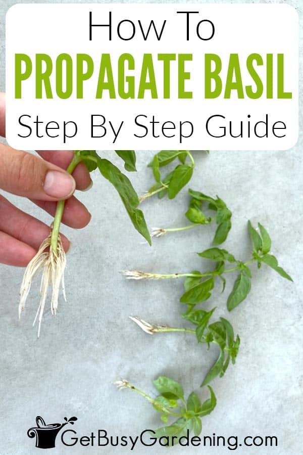 How To Propagate Basil Step By Step Guide