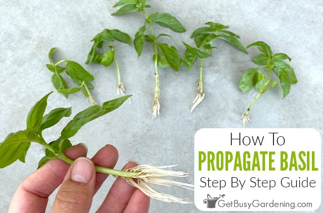 How To Propagate Basil - A Step By Step Guide