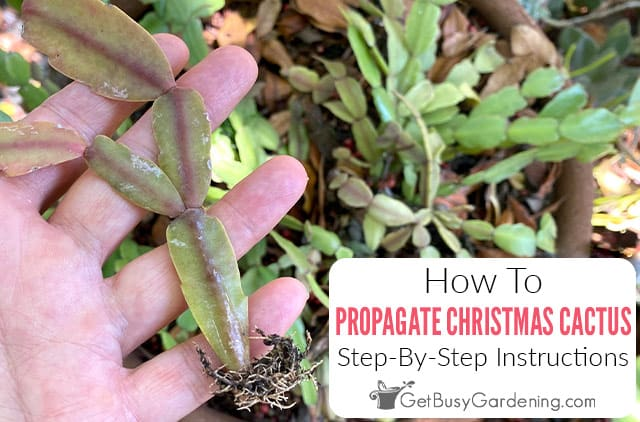 Propagating Christmas Cactus From Cuttings Or By Division