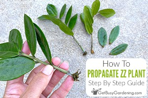Propagating ZZ Plants From Cuttings Or Division