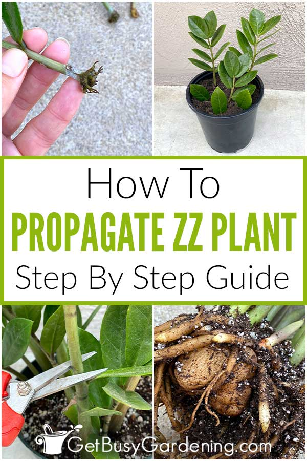 How To Propagate ZZ Plant Step By Step Guide