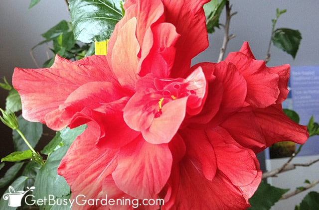 Red double hibiscus flower during winter