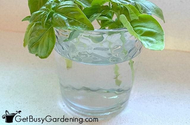 Rooting basil in water