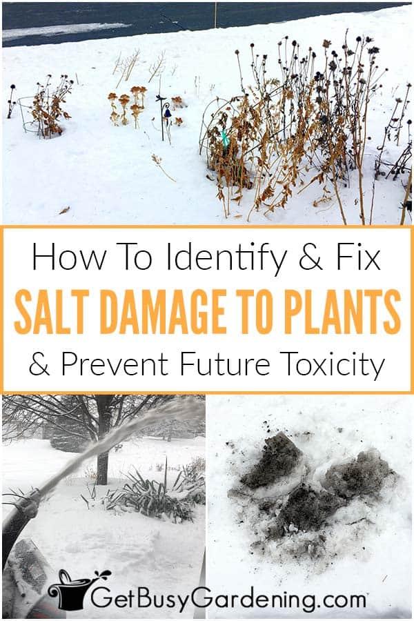 So erkennen und beheben Sie Salzschäden an Pflanzen und verhindern zukünftige Toxizität