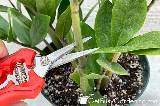 Taking ZZ plant cuttings for propagation