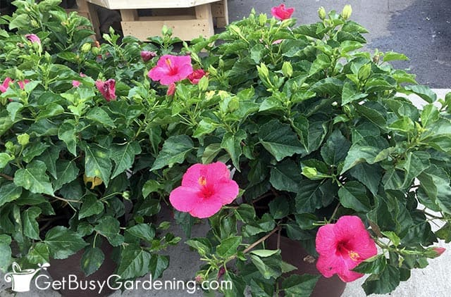 Two hibiscus plants outside during summer