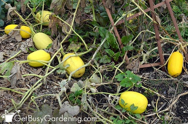 Winter squash ready to be picked