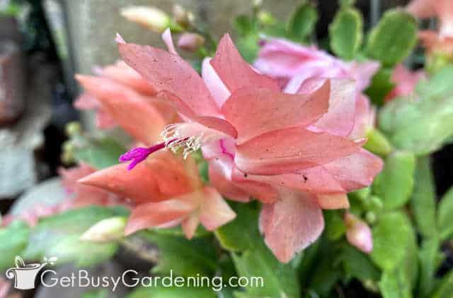 Nahaufnahme von Thanksgiving-Kaktus-Blume
