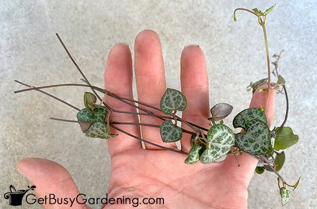 Cut rosary vines ready for propagation