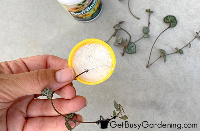 Dipping rosary vine cuttings in rooting hormone