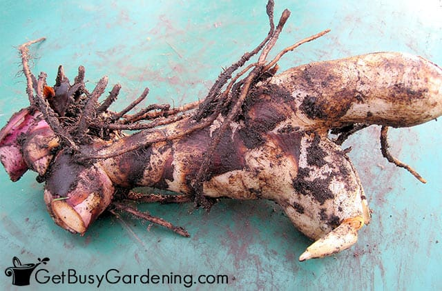 Healthy canna bulb curing before storing for winter