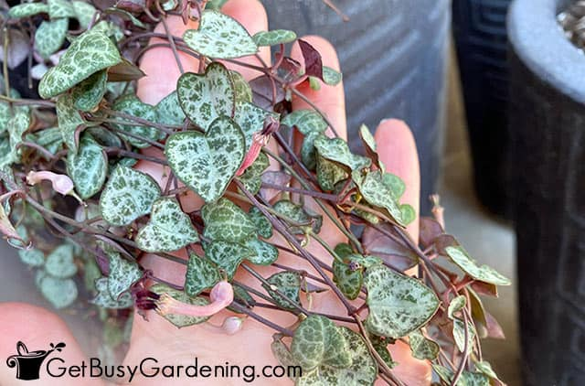 Healthy rosary vines ready for propagation