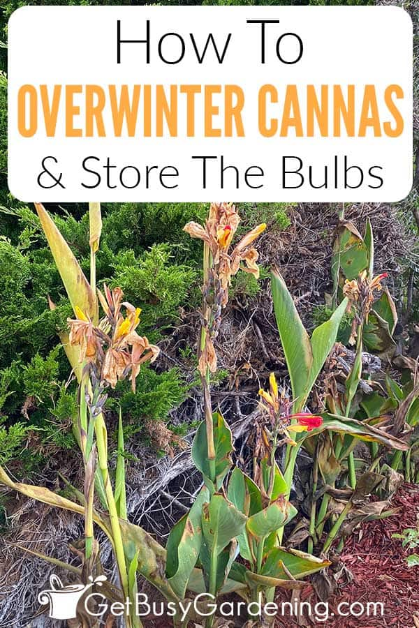 How To Overwinter Cannas & Store The Bulbs