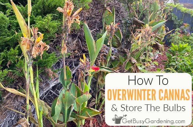 Overwintering & Storing Canna Lily Bulbs - The Complete Guide