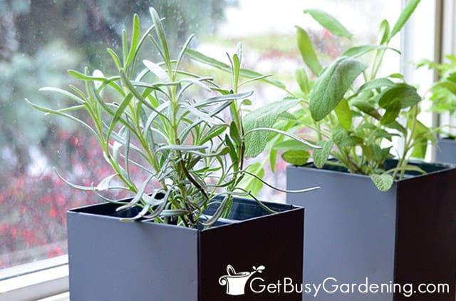 Eingemachte Lavendelpflanze drinnen auf einer Fensterbank