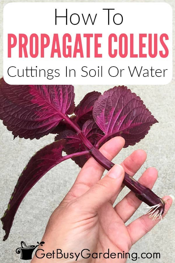 How To Propagate Coleus Cuttings In Soil Or Water