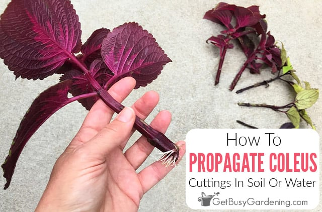 Propagating Coleus Cuttings In Soil Or Water