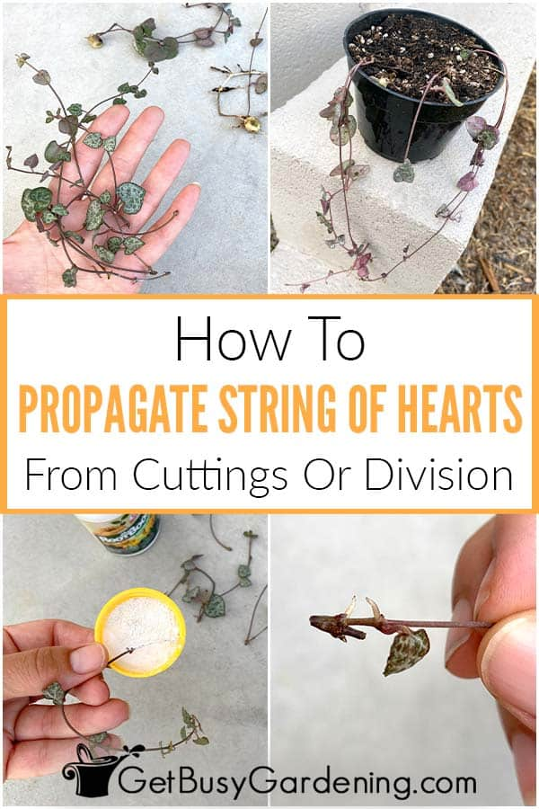 How To Propagate String Of Hearts From Cuttings Or Division