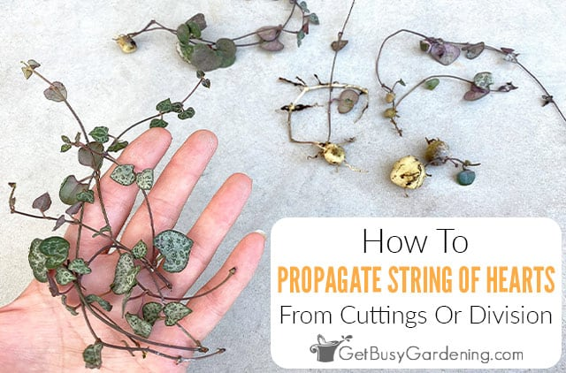 Propagating String Of Hearts (Rosary Vine) From Cuttings Or Division