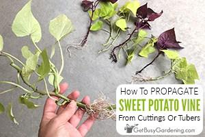 Propagating Ornamental Sweet Potato Vine Cuttings Or Tubers
