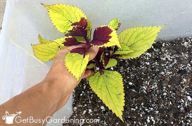 Putting coleus into soil for propagation