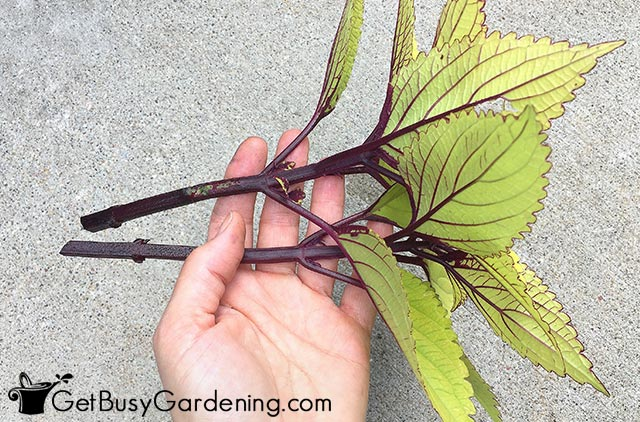 Removed lower leaves from coleus stems